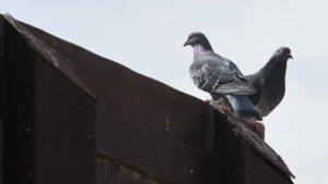 A pigeon perched on the border fence peers into the United States, while the other looks into Mexico. Photo by Chris Stone