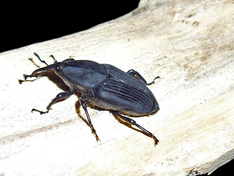 Example of a South American Palm Weevil. Photo by Didier Descouens (Own work) [CC BY-SA 3.0 (http://creativecommons.org/licenses/by-sa/3.0)], via Wikimedia Commons