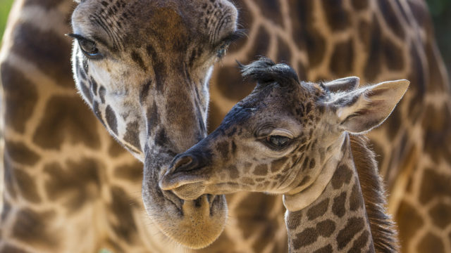 Harriet, a Masai giraffe, attends to her four-day-old calf at the San Diego Zoo. The male was born on June 16, standing 6 feet 2 inches tall and weighing 146 lbs. This is Harriet's second calf; the little one's father is Silver, the herd's sire. Photo courtesy San Diego Zoo/Andrew James.