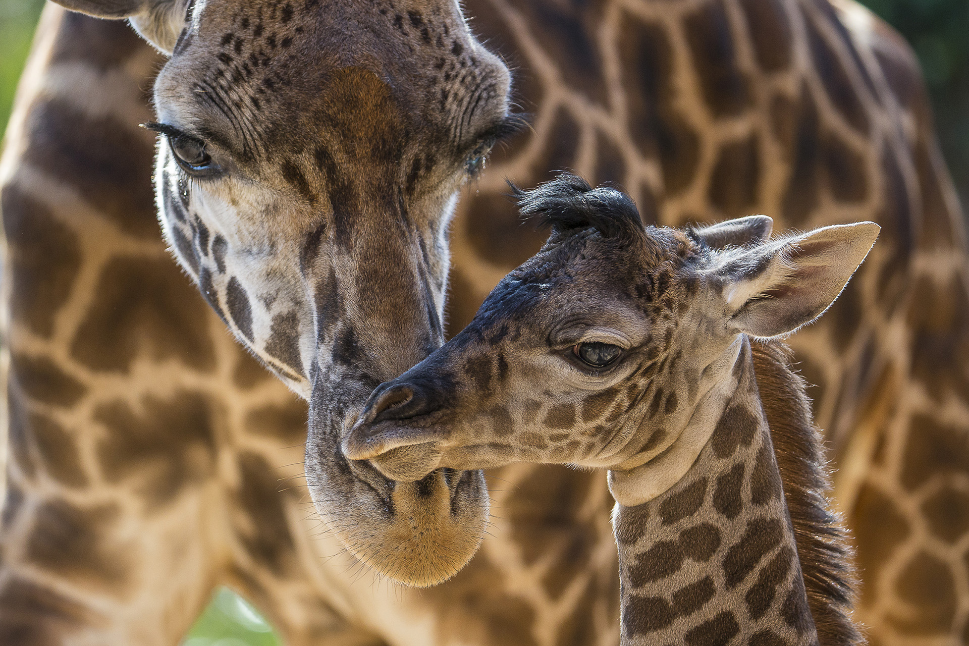 Zoo Sees Silver Lining In Dire Declaration About Giraffes Times Of