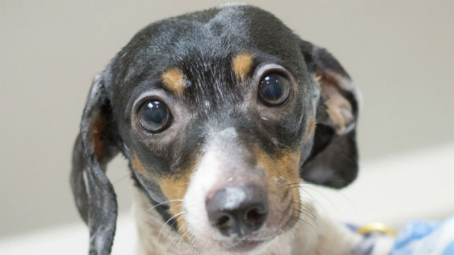 Lucy is one of the 78 dogs rescued. Courtesy San Diego Humane Society