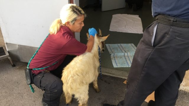 One of 52 goats seized from a Jamul property, January 9, 2017.