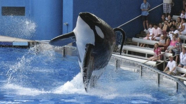"SeaWorld killer whale Tilikum performs during the show ""Believe"" at SeaWorld Orlando in 2009.  REUTERS/Mathieu Belanger"