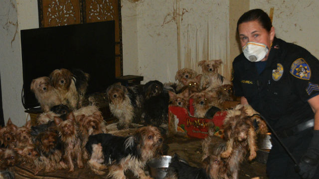 A humane law enforcement officer with the Yorkies. Courtesy San Diego Humane Society