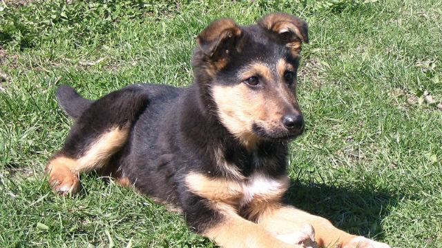 Last German Shepherd Rescue Puppy Needs Loving Home Times Of San Diego