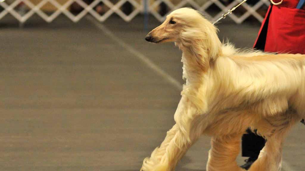 Afghand Hound Dog Show San Diego