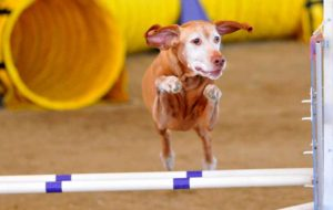 Tokaji, an 11-year-old Vizsla, clears a bar in the agility course at the Silver Bay Kennel Club dog show. Photo by Chris Stone