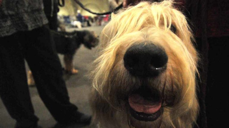 Webster, 8, an award-winning Otterhound, puts his nose to work at Silver Bay Kennel Club show. Photo by Chris Stone