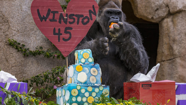 Winston, a critically endangered western lowland gorilla, celebrated his birthday today (Monday, Feb. 20, 2017) at the San Diego Zoo Safari Park with a shimmering blue three-tiered ice cake, surrounded by his family troop and a crowd of admirers. The Gorilla Forest habitat was decked out with present boxes, treat-filled gourds, multicolored browse and a variety of edible delights. The Nutritional Services department's signature ice cake included orange, jicama and yam slices frozen inside, and a pineapple top. Each member of the troop, including the birthday boy, entered the habitat and immediately started to partake of the buffet of tasty snacks scattered about—but as usual, Winston made sure he was the first to sample the cake. Estimated to be 45 years old, Winston is considered one of the oldest breeding male gorillas in a managed care setting. San Diego Zoo Safari Park guests can visit the birthday boy and the other eight family troop members—four adult females, two young males, one young female, and a female baby born last October—in their habitat in the Gorilla Forest.