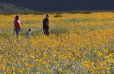 Wildflowers in Borrego Springs