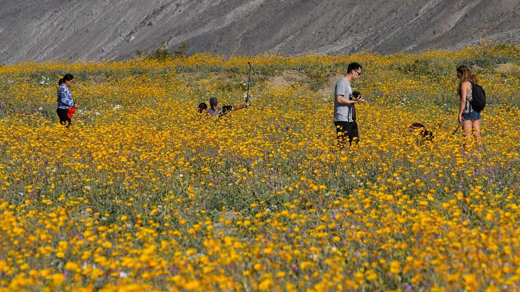 Birders fuel superbloom buzz at anza borrego park times of san diego families take photos among the desert sunflowers desert sand verbena and dune evening primroses along henderson canyon road in borrego springs mightylinksfo Images