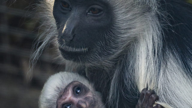 An adult Angolan colobus monkey at the San Diego Zoo takes it's turn holding a new addition to their group.