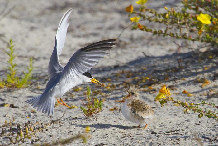 Calfornia least tern