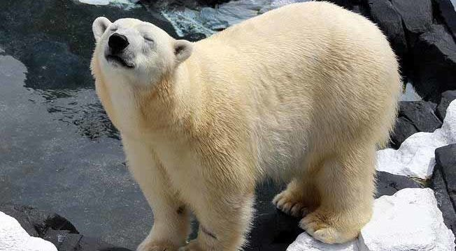 Szenja the polar bear at SeaWorld San Diego. Photo via SeaWorld