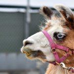 Llama at San Diego Fair