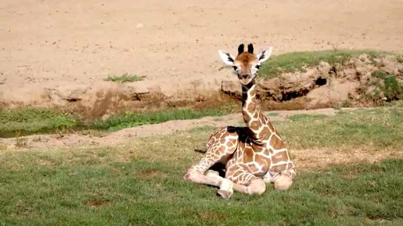 Peek A Boo Video Safari Park S 2 New Baby Giraffes Times Of San Diego