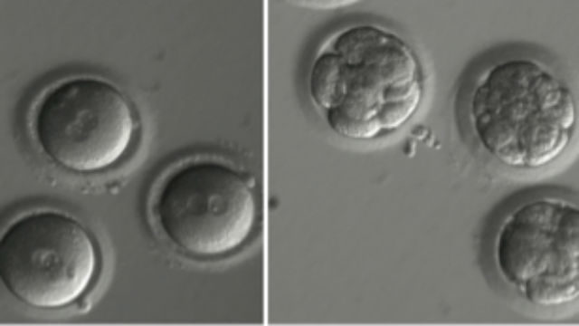 Newly fertilized eggs and embryos after gene editing