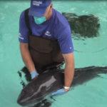 Pygmy sperm whale at SeaWorld