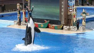 "Kasatka performs during ""The Shamu Adventure"" in July 2004."