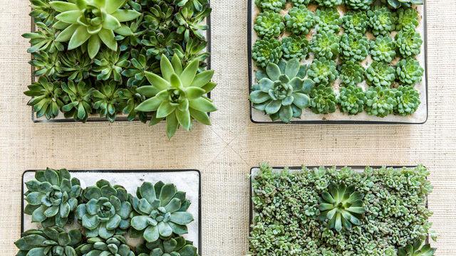 Weekend Design A Beginner S Guide To Growing Succulents Indoors