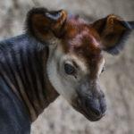 An okapi