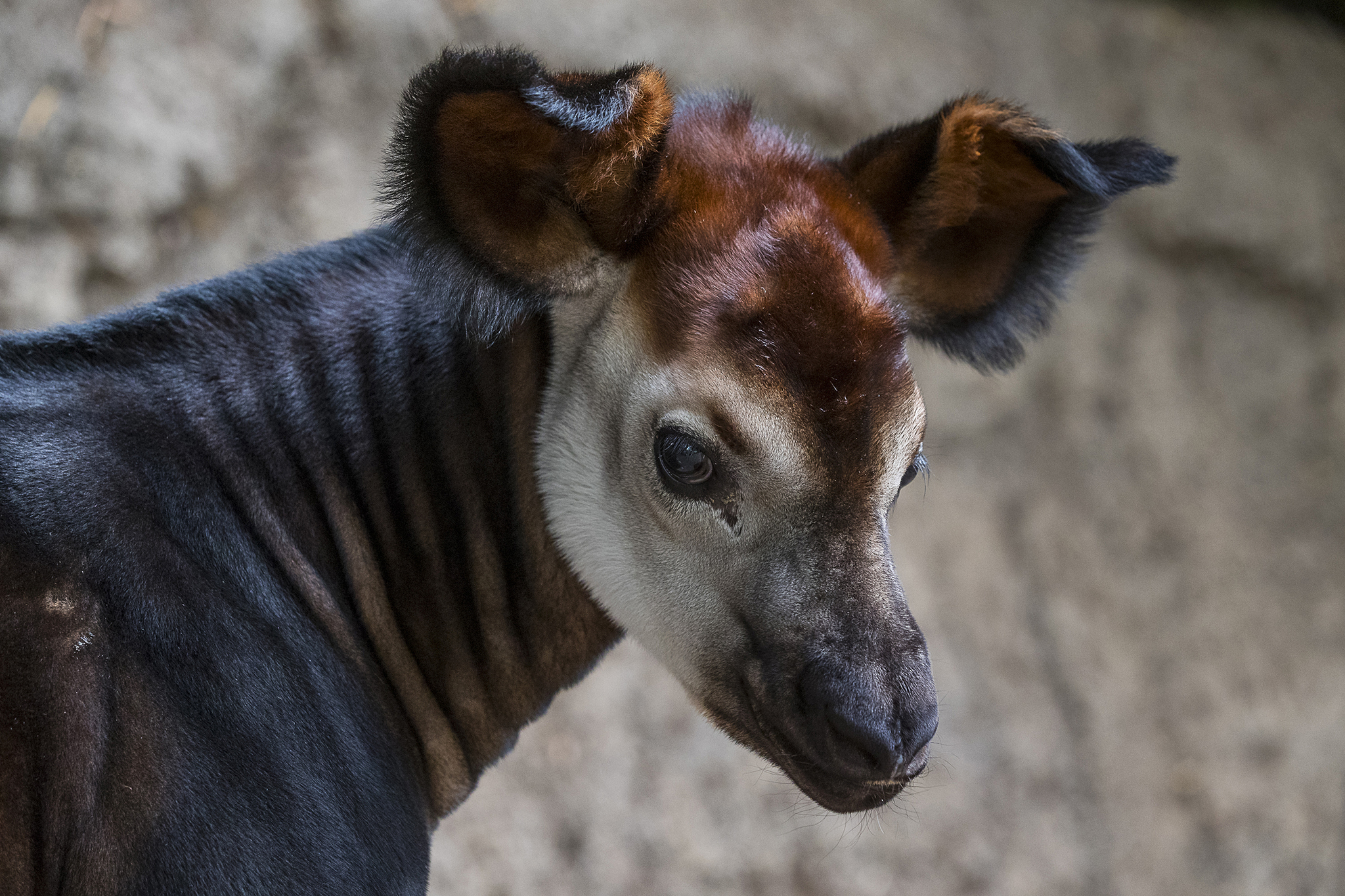 Endangered Okapi Born At San Diego Zoo Now Welcoming
