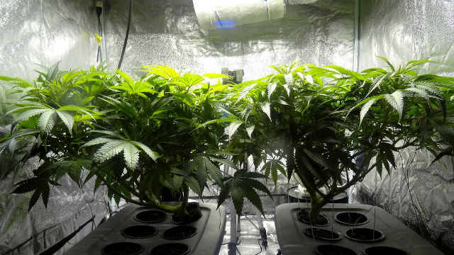 Indoor marijuana cultivation