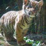 Sumatran tiger club sent from National Zoo in Washington to San Diego.