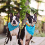 Boston terriers Maggie and Orbit