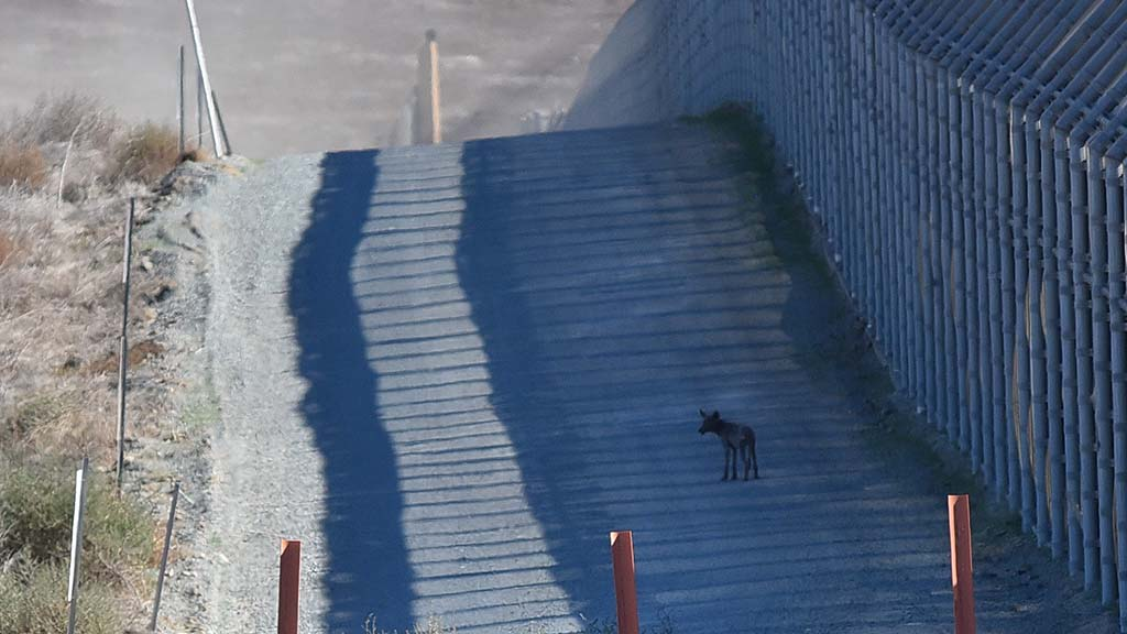 A coyote walks along the secondary border fence near the constructed prototypes.