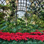 Poinsettias in the Botanical Building