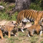 Tiger cubs born at the San Diego Zoo Safari Park.