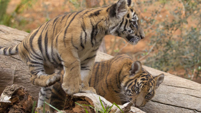 2 Rescue Tiger Cubs Now Living Together at San Diego Zoo