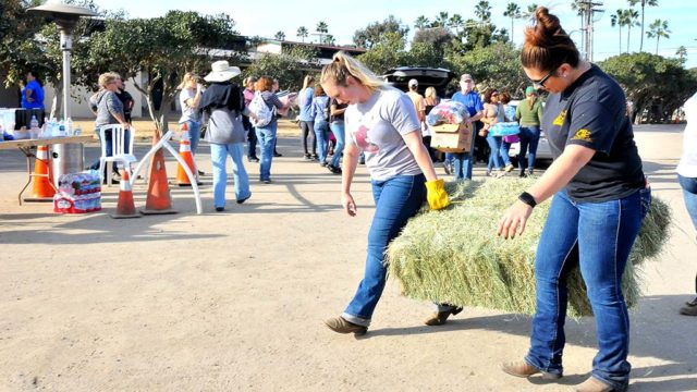 Volunteers at the Del Mar Fairground bring in hay that was donated.