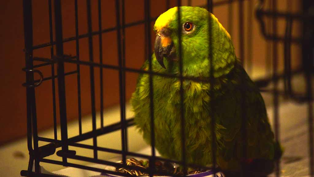 An Amazon parrot waits at the Oceanside High School Red Cross shelter