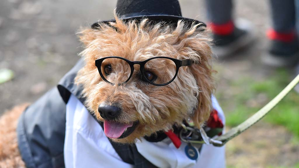 Koufax, a five-year-old cockapoo, is dressed as an English gentleman