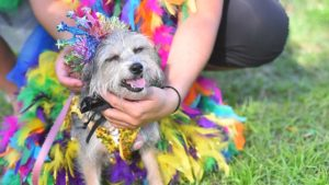 Missy, a three-year-old terrier mix, gets her crown attached for the costume contest.