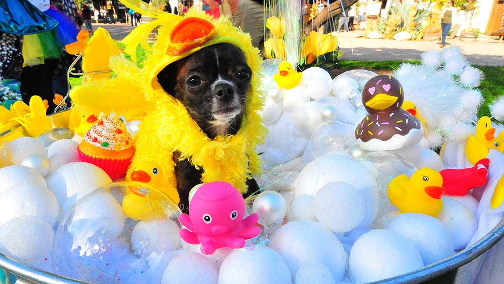 Sparkle, a one-year-old Chihuahua, playing a rubber ducky, won the pet-owner look alike prize.