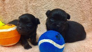 black puppies