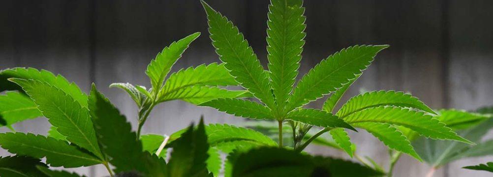 Marijuana plants are grown at Torrey Holistics in its salesroom.