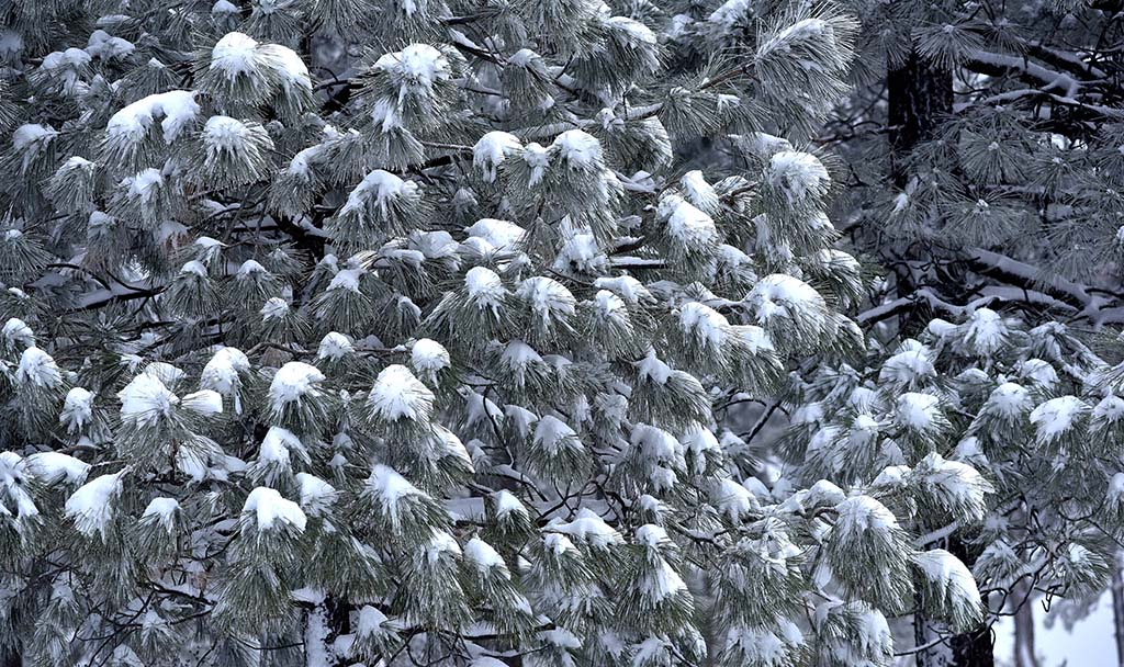 Trees were dusted with snow in first major winter storm in San Diego County.