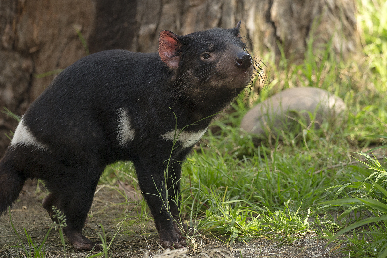 endangered tasmanian devils ready for visitors at san diego zoo times of san diego https timesofsandiego com life 2018 03 14 endangered tasmanian devils ready for visitors at san diego zoo