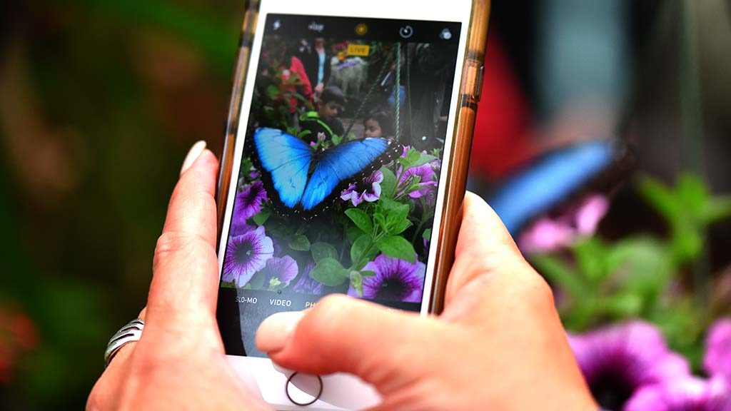 A visitor gets a cellphone shot of a Common Blue Morpho.