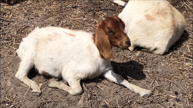 Lemon Grove Hires Hungry Goats to Help Reduce Wildfire Risk - Times