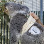 Koala with glucose monitor