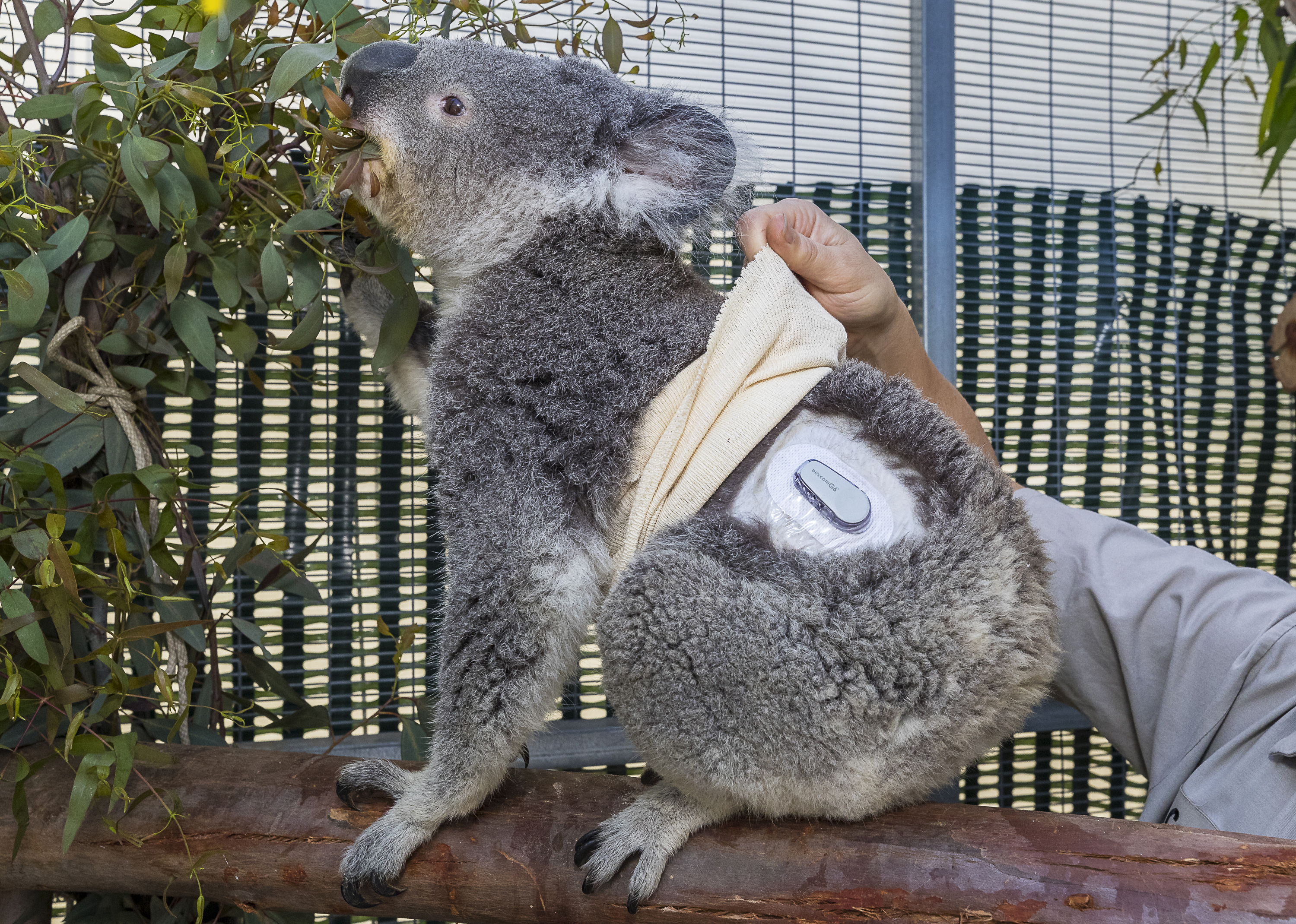 koala with diabetes at san diego zoo receives help from new