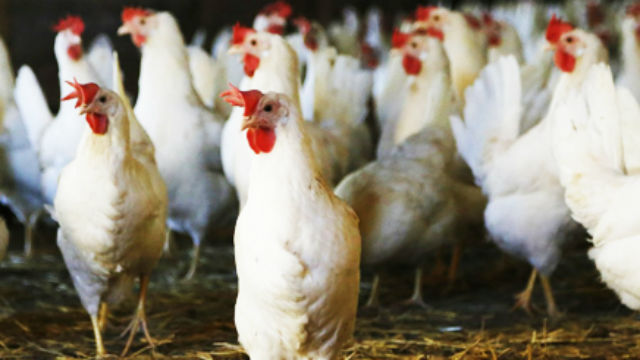 New Ballot Initiative Would Ban Cages for Egg-Laying Hens in