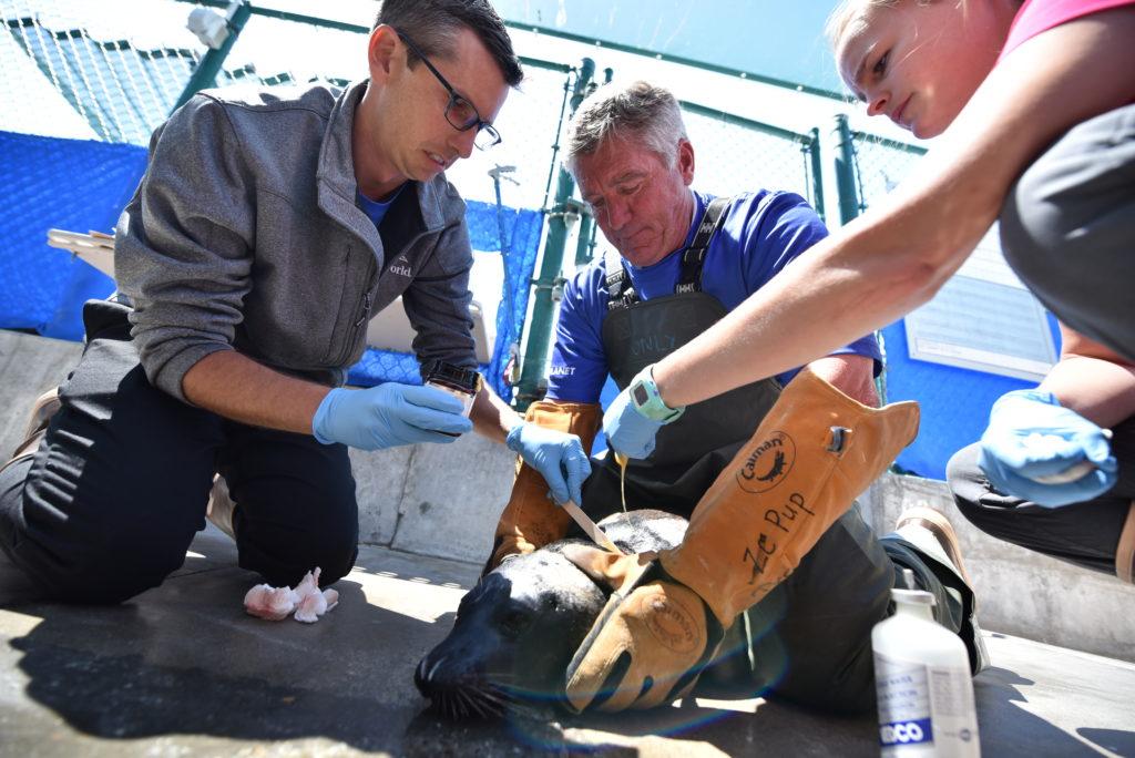 Injured seal, SeaWorld