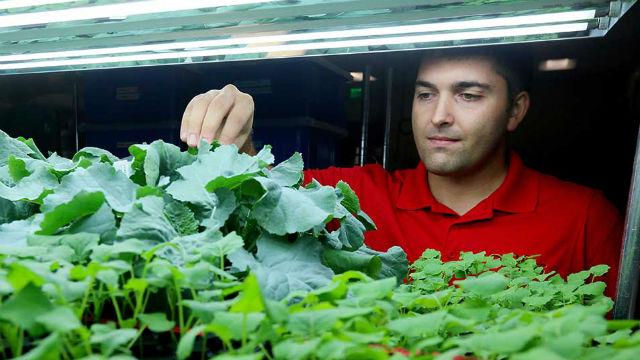 Herbicide-tolerant SU Canola