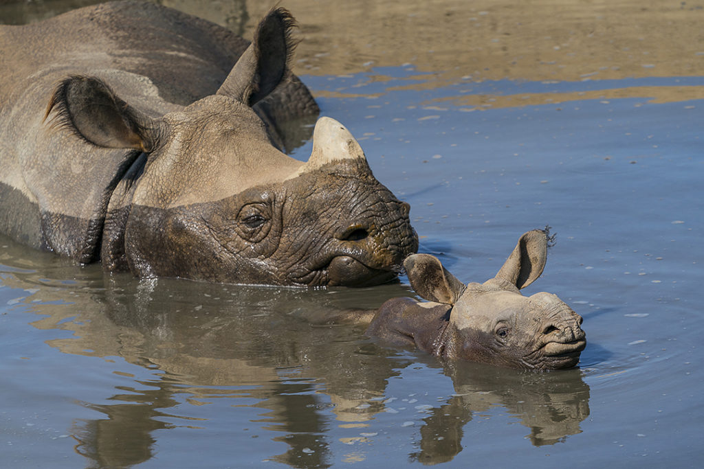 Greater Horn Rhino -San Diego Zoo Safari Park